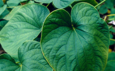 How Kava Can Cure Anxiety