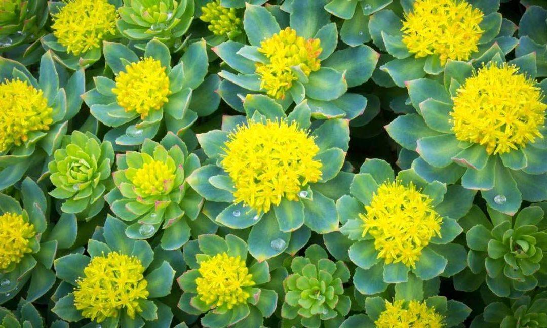 Rhodiola Rosea: The Natural Antidepressant