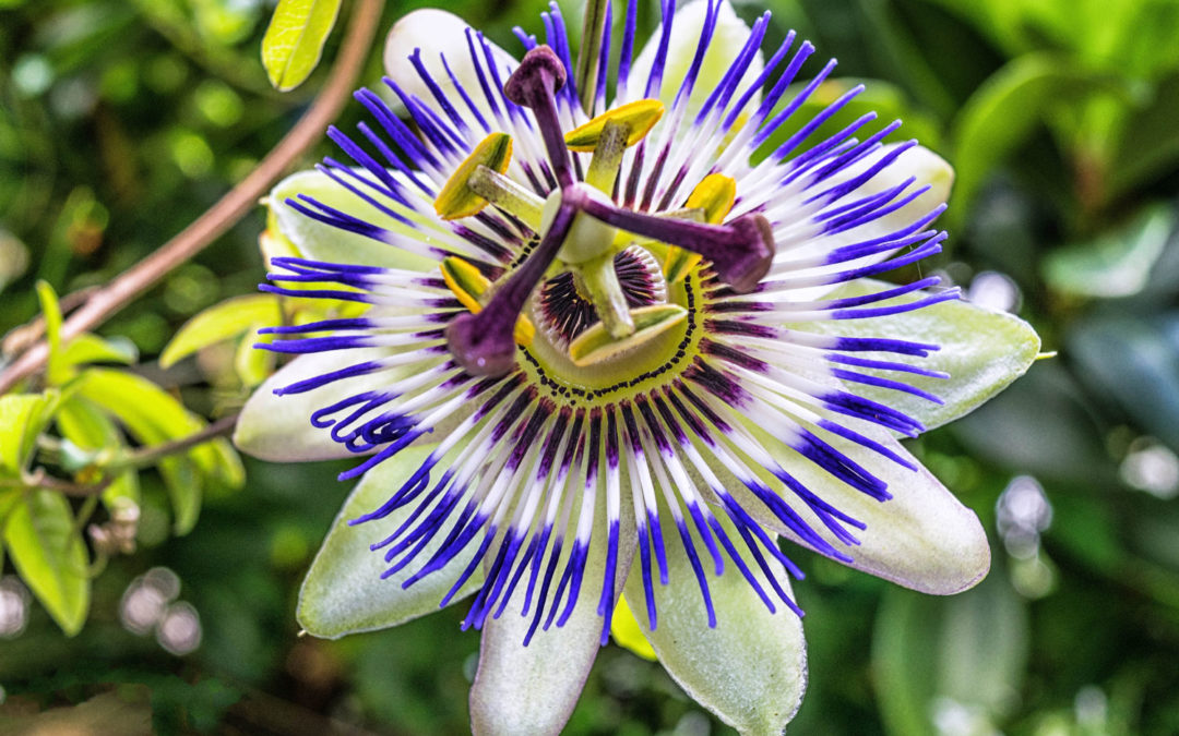 Can Passionflower Treat Anxiety?